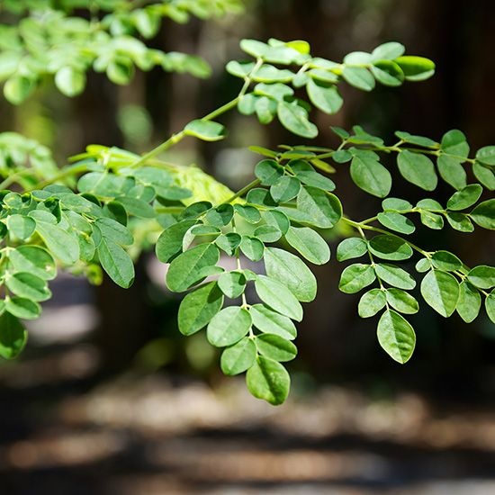 Moringa Oleifera: A Great Immune Booster