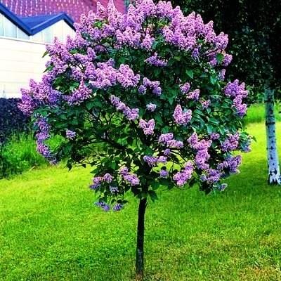 Lilac tree-smells so good!
