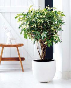Plantas resistentes: SCHEFFLERA