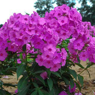 Phlox paniculata flame pink backyard garden C