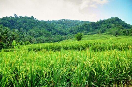 Rice field Sukabumi, west java