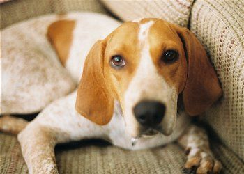 red tick coonhound | English Coonhound Information and Pictures, Redtick Coonhounds