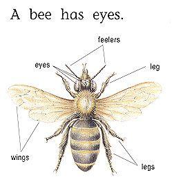 Honey Bee Anatomy Top View | sample bee diagram back to top 2 drone ...