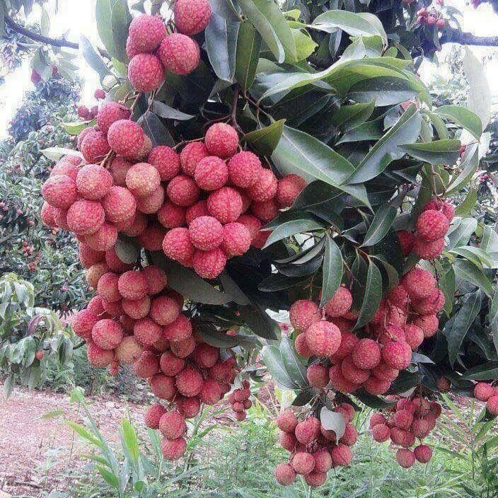 Lychees. How pretty!