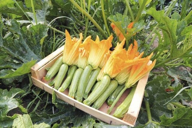 Come coltivare le zucchine in vaso, sul balcone. Si raccolgono da maggio a settembre
