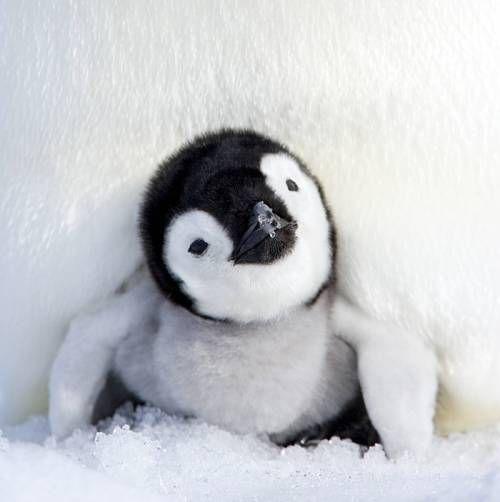 仲睦まじい皇帝ペンギンの親子の写真11枚 | 世界の笑えるオモシロ画像