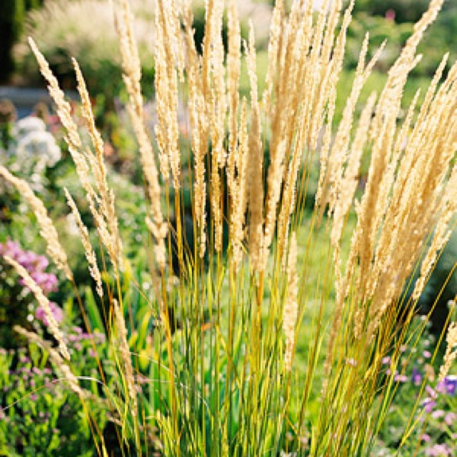 52 best images about oriental grasses on pinterest for Oriental grass
