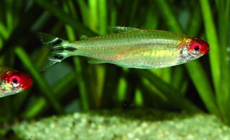 152 especies, dos de ellas nuevas para el área de estudio y un alto porcentaje de peces no objetivo (incidentales), encontró un grupo de investigadores del Departamento de Biología de la Facultad de Ciencias de la Pontificia Universidad Javeriana en su estudio sobre la pesca ornamental, en la zona de influencia de Puerto Carreño.