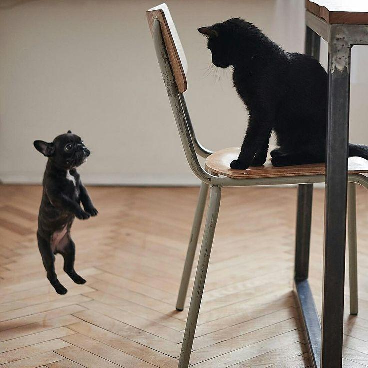 True love  French Bulldog Puppy and a Cat, @melonveru