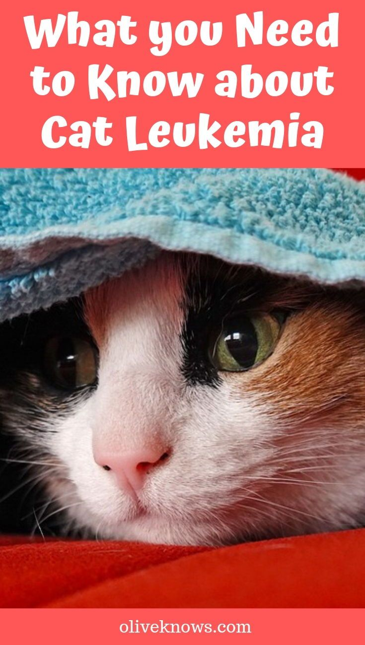 What you Need to Know about Cat Leukemia | oliveknows com