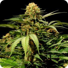 Bullshark - strain - Bulldog Seeds | Cannapedia