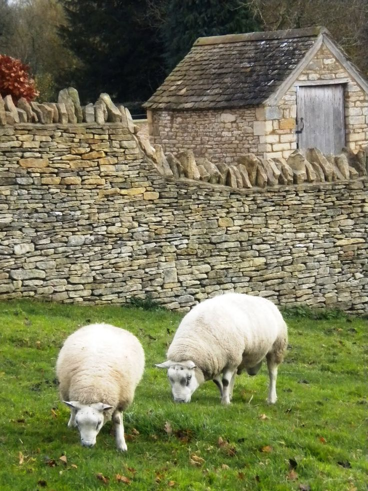 """Cotswold Sheep, England. Pinner says, """"There sure are a lot of them there! I was interested in the stone walls with the upright stones on top- guess it make it harder to get over."""""""