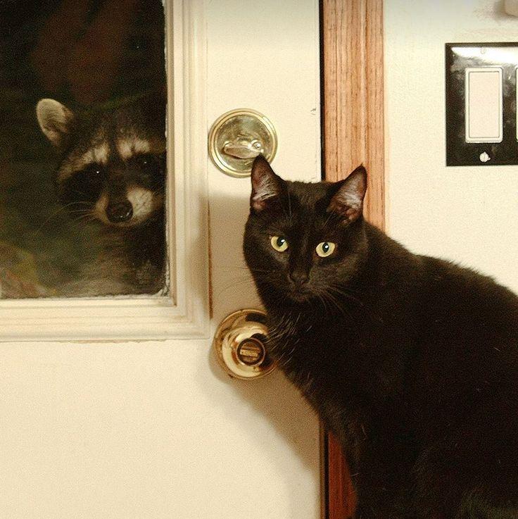 Raccoon & Black Cat: