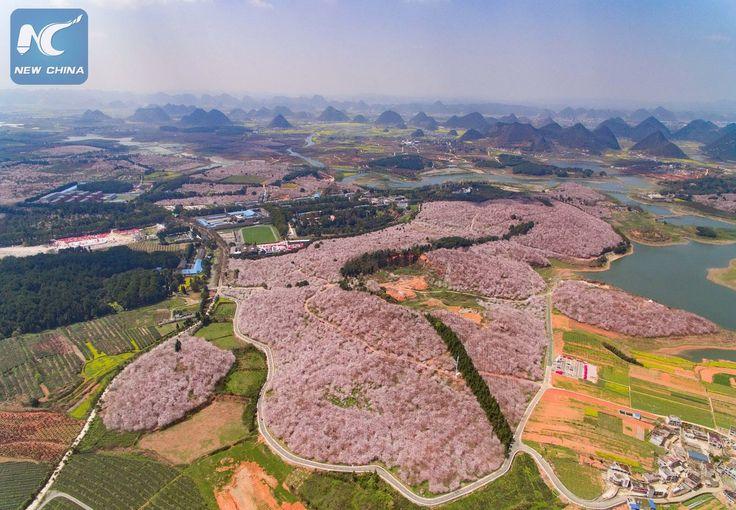 Вишневый сад из 500 тысяч деревьев. Уезд Пинба, город Аньшунь, провинция Гуйчжоу.