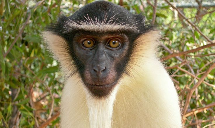 Experts highlight threat to lesser-known apes and mokeys from large-scale habitat destruction and illegal wildlife trade