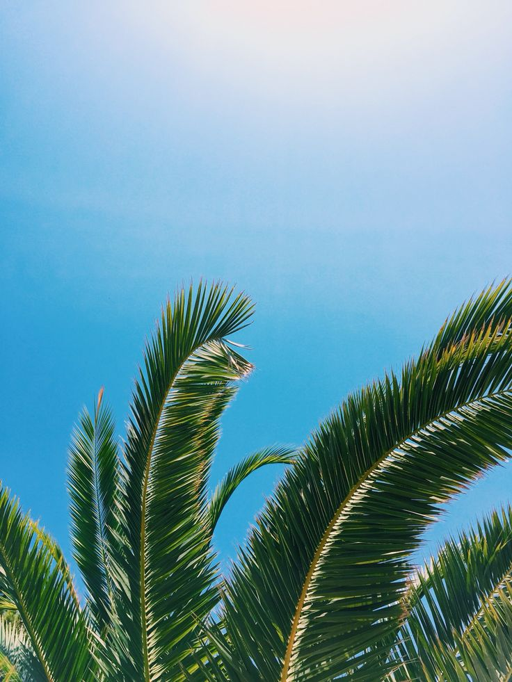 Palm trees in Palma Mallorca: