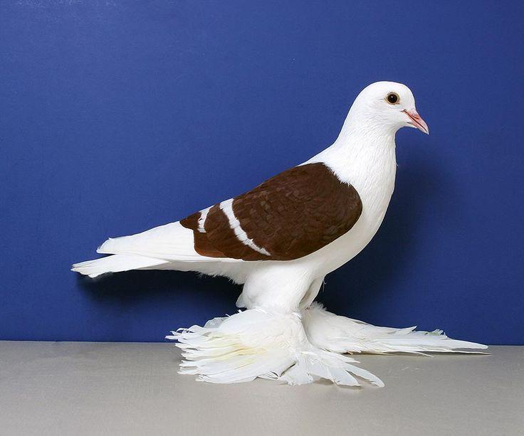 Название породы голубей в картинках