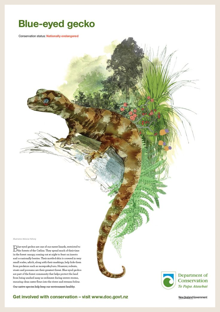 Blue-eyed gecko. One of four beautiful, brand new, threatened species posters that aim to increase awareness of New Zealand's lesser known endangered species. Illustration: Rebecca Terborg