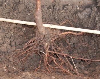 How to plant apple trees