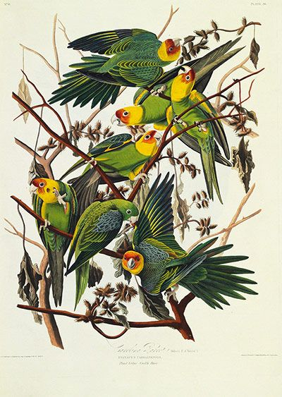 The Carolina parrot. In Audubon's time the only species of parrot native to the US, it is now extinct