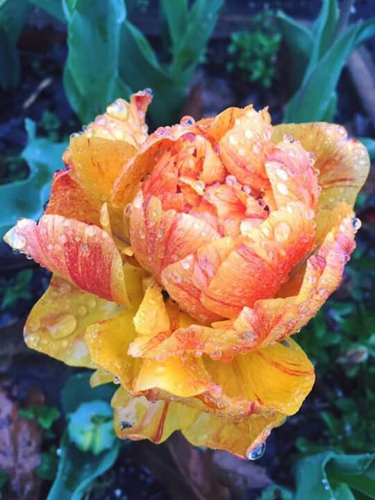 Peony flowered tulip from P. Allan Smith FB pg.