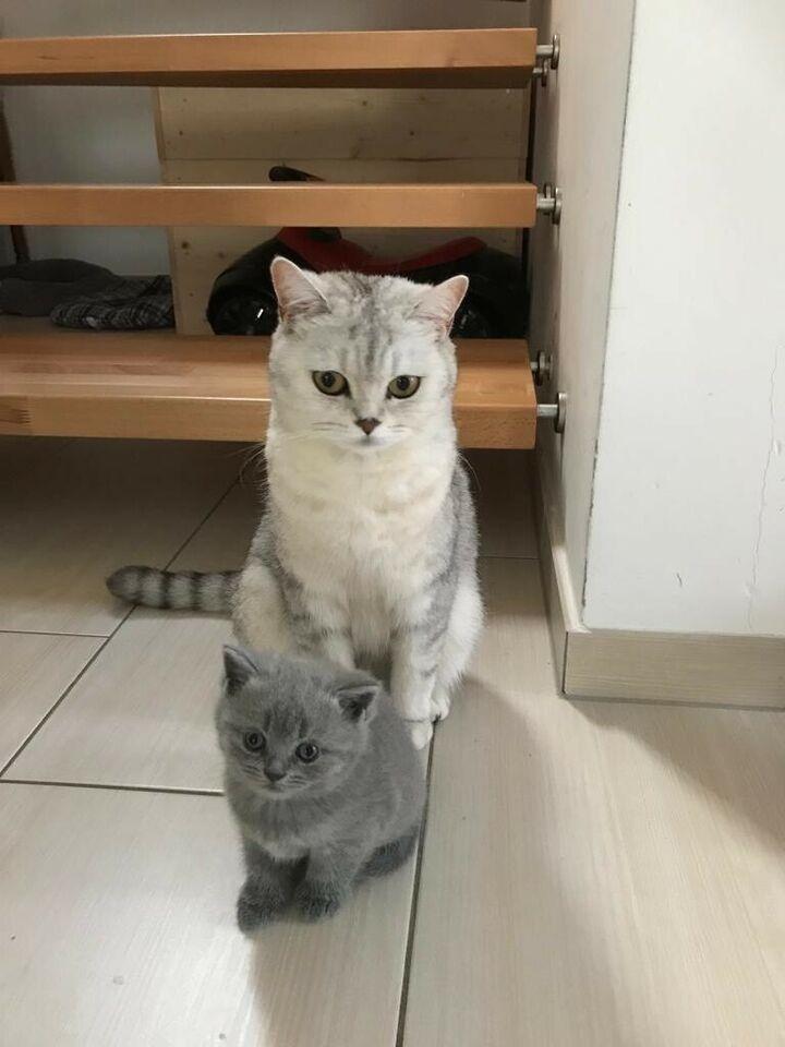 Bkh Kitten Abgabebereit In Nordrhein Westfalen Lohne Bkh Kitten Bkh Nordrhein Westfalen