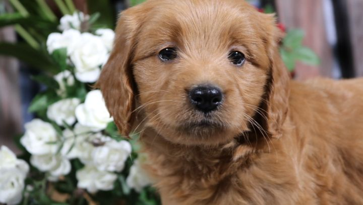 Meet Dixie Female Mini Goldendoodle Puppy For Sale In Nappanee