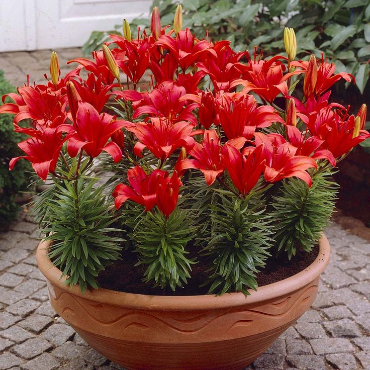carpet lily bulbs. lily \u0027red carpet\u0027 from van meuwen - experts in the garden since 1855 carpet bulbs