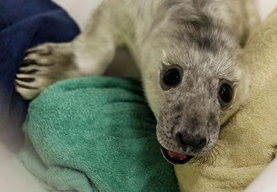 Pups van de Grijze zeehond worden geboren met een compleet witte vacht.