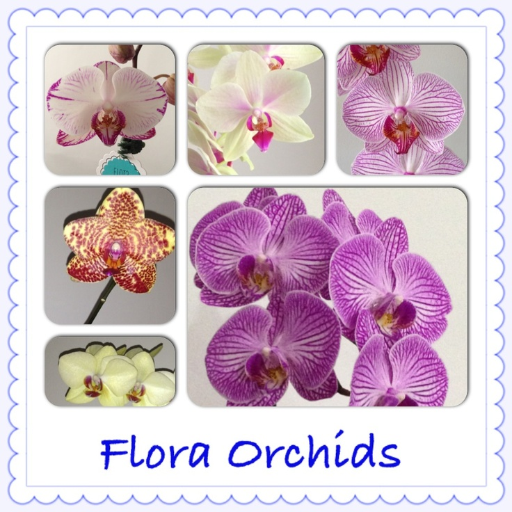 Phalaenopsis