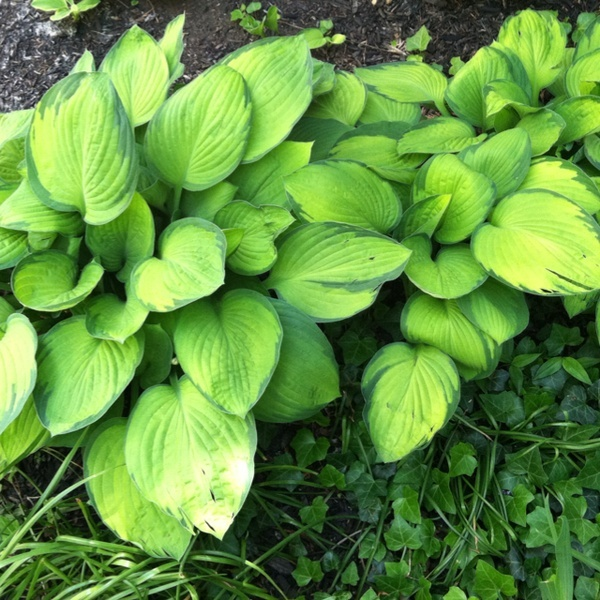 Light green hosta with dark edges. michats
