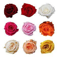 Výsledek obrázku pro růže