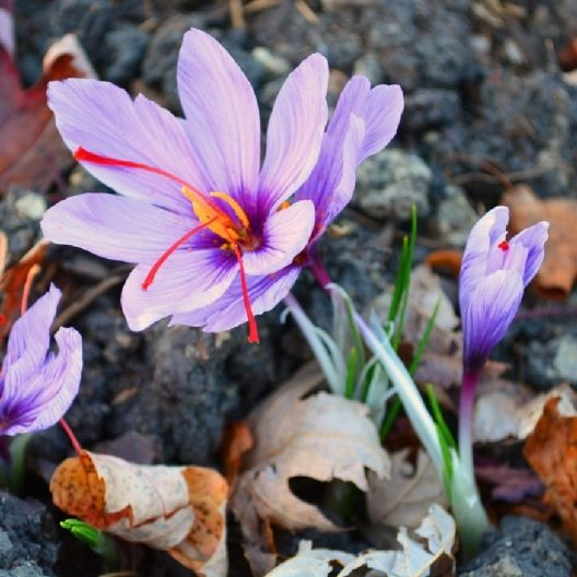 Not only is this crocus beautiful, its stigmas are also edible! The gourmets all know that Saffron can cost hundreds of dollars just for an ounce! So why not grow it yourself in your own garden? Harvesting Saffron is easy, simply pick the red stigmas on each flower once the flowers are fully open. You may use right away or dry and store for months.