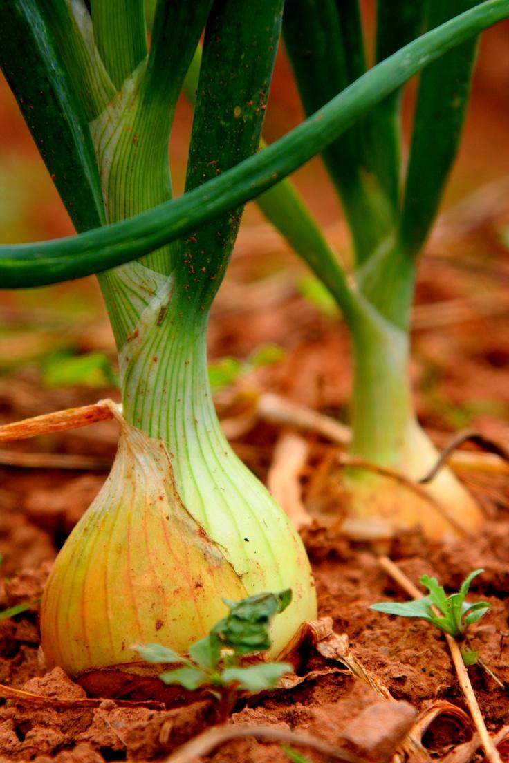 Paul Offer's Onions Farmers market, Farmer, Fruit