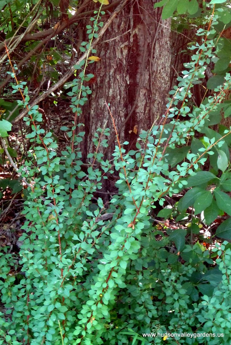 90 Best Images About Invasive Plants Invasive Shrubs And