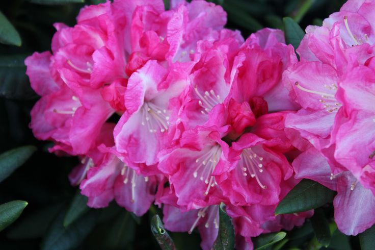 Rhododendron Barmsted
