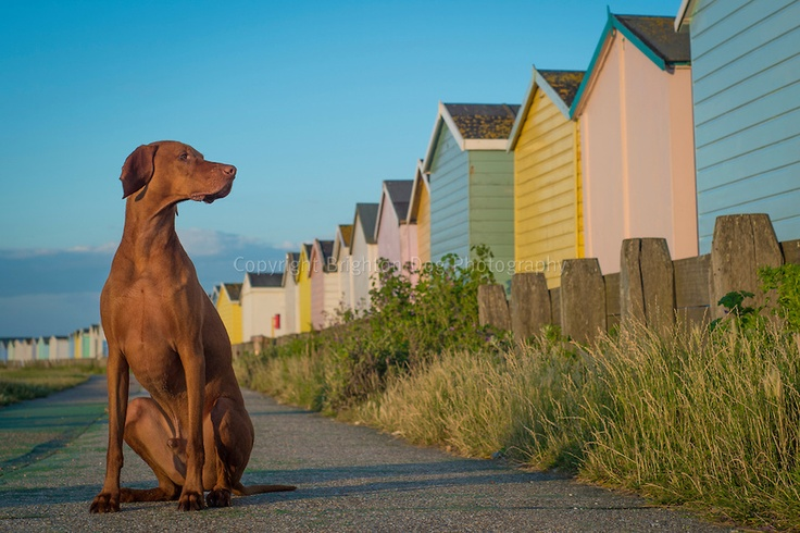 Images of Bentley, the Hungarian Vizsla by Brighton Dog Photography.