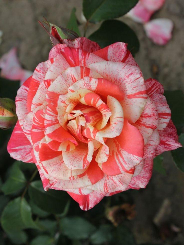 'Philatelie' | HT rose. Bred by Samuel Darragh McGredy IV (1999).