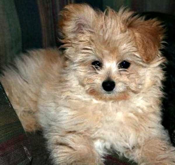 Pomapoo (Pomeranian Poodle Mix)