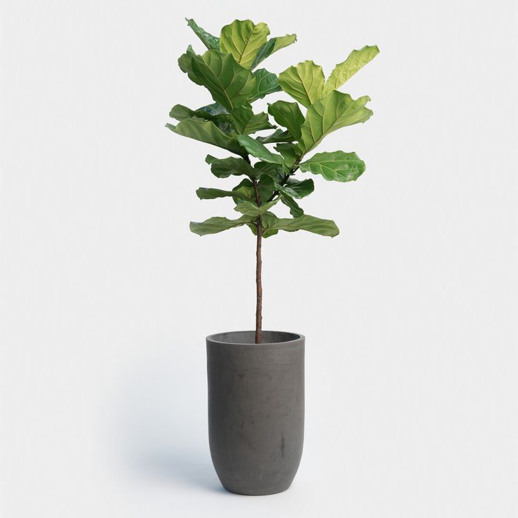 Fiddle leaf fig indoor plants we all like are non for Large non toxic house plants