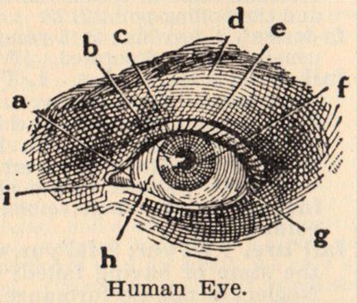 Vintage Clip Art - Eye Diagram