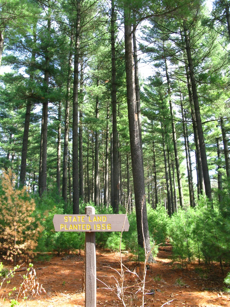 Sand Dunes State Forest, Red Pines Planted in 1956