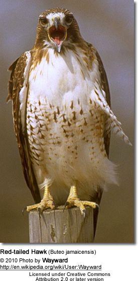 Best 25 Red Tailed Hawk Ideas On Pinterest Hawks