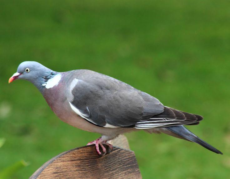 Columba palumbus/ common wood pigeon/  モリバト