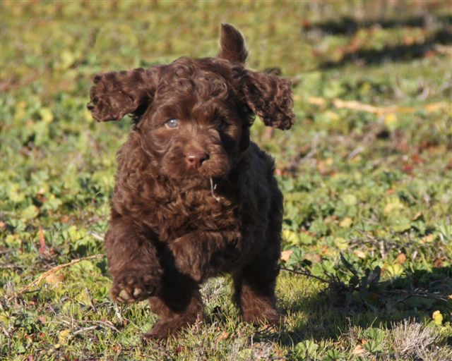 Country Labradoodles Pricing