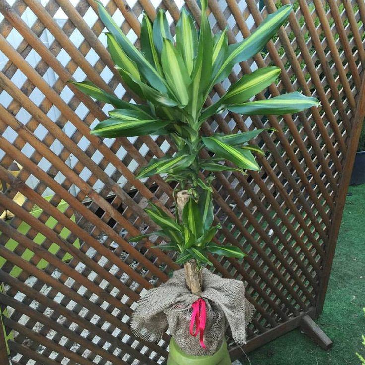 Odunsu gövdesi ve farklı yapıda yaprakları ile Dracena Massengena www.fidanistanbul.com 'da http://www.fidanistanbul.com/?shop=urun&id=3663 #fidanistanbul #fidan #icmekan #dekoratif #peyzaj #susbitkileri #dracenamassengena #dracena #dracenamarginata #hediyeçiçek #dismekan #tasarim #tasarım #süsbitkileri #bitki #cicek #çiçek #onlinesatis