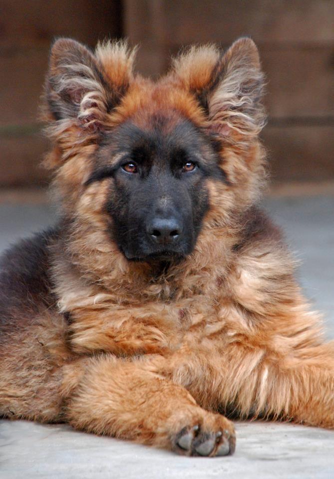 long haired shepherds | long haired german shepherd puppies