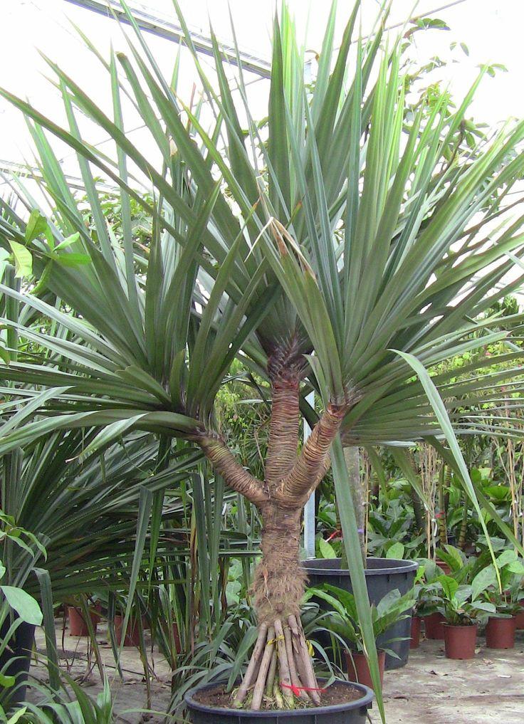 Pandanus Branched Landscape Palm Garden Tropical