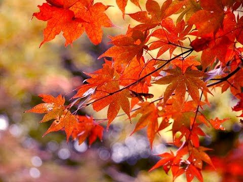 Image result for High Park maple
