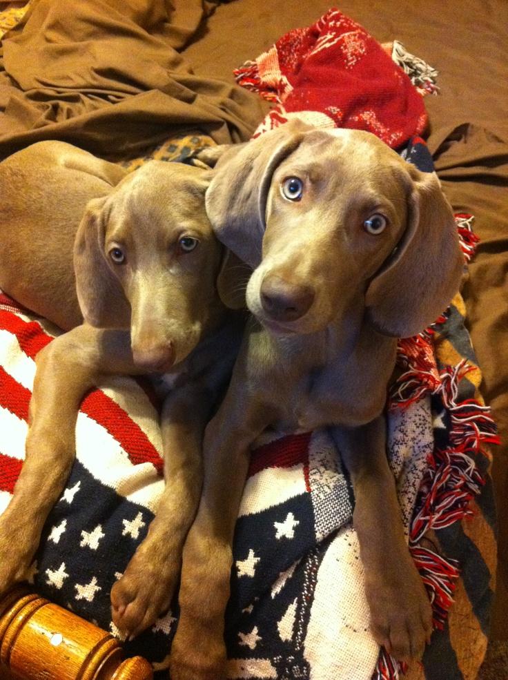 My brand NEW babies......Mya and Callie....#Weimaraner